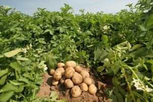 Удобрение для картофеля NPK+микроэлементы