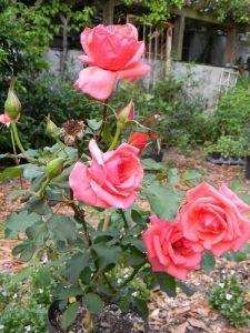 Удобрение для роз Террафлекс-F