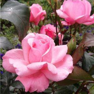 Роза Queen of England (Elizabet) (Куин оф Ингланд, Элизабет)