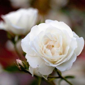 Роза Schneewitchen Climbing (Шнивитхен плетистый)