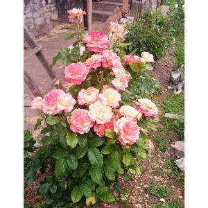 Роза English Sonnet (Инглиш Сонет)