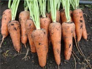 Морковь Нантская, 20 гр