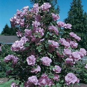 Роза Blue Moon (Блю Мун), штамбовая
