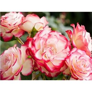 Роза Duble Delight (Дабл Дилайт), штамбовая