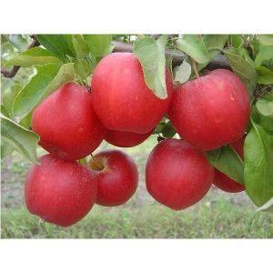 Яблоня Гала, скороплодная