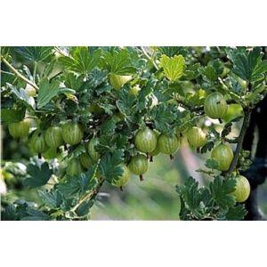 Крыжовник Зеленый Дождь, крупноплодный