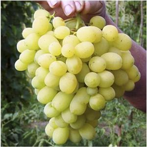 Виноград Лора, суперранний