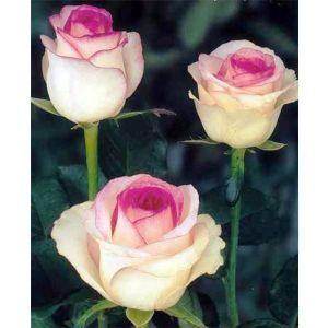 Роза Dolce Vita (Дольче Вита)