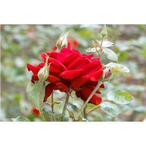 Роза Royal Williams (Роял Вильямс)