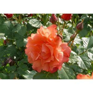 Роза Korwest (Корвест)