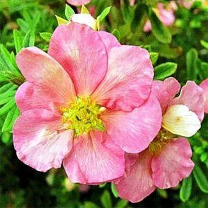 Лапчатка кустарниковая Pink Queen