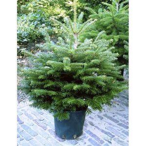 Ель европейская экстра (Picea abies extra), 140-160 см