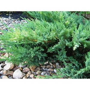 Можжевельник казацкий Тамарисцифолия (Tamariscifolia) до 110 см