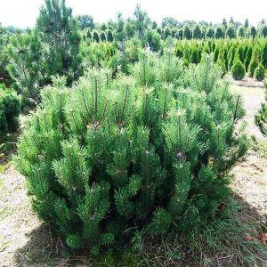 Сосна горная Мугус (Mughus) диаметр 40-50 см