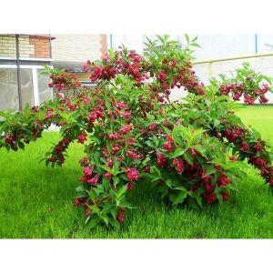 Вейгела цветущая Бристол Руби (Bristol Ruby)