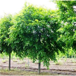 Граб обыкновенный (Carpinus betulus)
