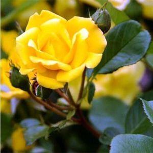 Роза Guletta (Гулетта), штамбовая