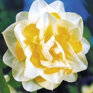 Нарцисс махровый White Lion (Уайт Лаион)
