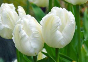Тюльпан попугайный White Parrot (Уайт Пэррот)