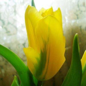 Тюльпан Yellow Angel (Йеллоу Энжел)