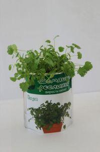 Домашнее растение - Кинза