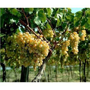 Удобрение Biopon для винограда