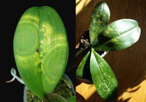 Биопрепарат Джерело для защиты орхидей