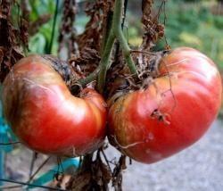 Биопрепарат Джерело для овощных культур