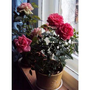 Грунт Роза