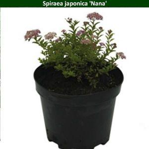 Спирея японская Nana (Нана)