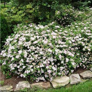 Спирея японская Albiflora (Альбифлора)