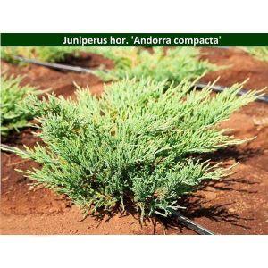 Можжевельник горизонтальный Andorra Compacta (Андорра Компакта) 50-60 см