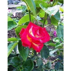 Роза Friendship (Френдшип)