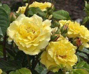 Роза Lichtkunigin Lucia (Люхткюнинген Люсия)