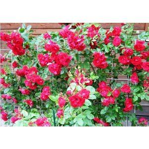 Роза Flammentanz (Фламентанз)