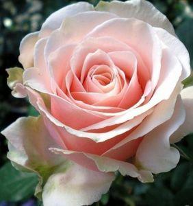Роза Majestic (Маджестик)