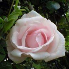 Роза New Dаwn (Нью Даун)