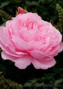 Роза Pink Cluster (Пинк Кластер)