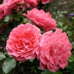 Роза Rosarium Uetersen (Розариум Утерзейн)