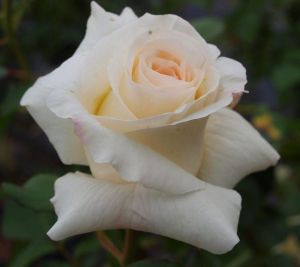 Роза Шнивальцер (Schneewalzer)