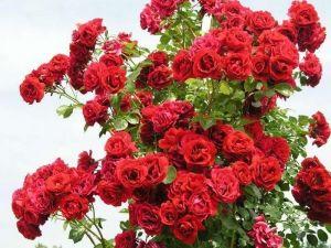 Роза Sympathy (Симпати)