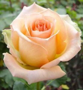 Роза Versilia (Версилия)