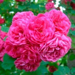 Роза Etude (Этюд)