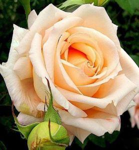 Роза Parfume de Creame Brulle (Парфюм де Крем Брюлле)