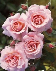 Роза Parfume de Paris (Парфум Париж)