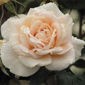 Роза Lions Rose (Лайонс Роуз)