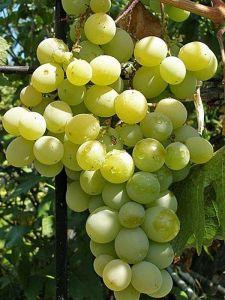 Виноград Кеша, ранний