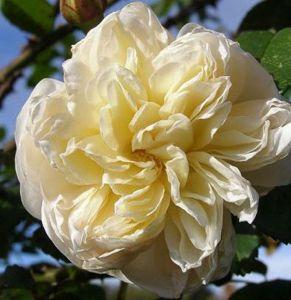 Роза Perpetually Yours (Перпешуали Йорс)