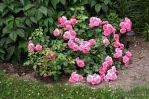 Роза Hello (Хеллоу)