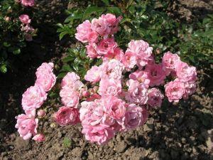 Роза The Fairy (Зе Фейри) штамбовая